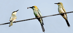 Small Green Bee-Eater